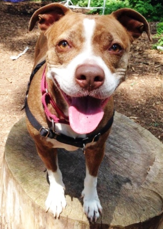 Brenda, pictured, is available for adoption at the SPCA of Westchester in NY.
