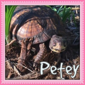 Petey - turtle at the sanctuary via NC Dog Rescue