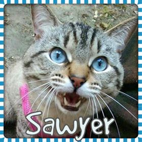 Sawyer cat NC Dog Rescue - already adopted and walks on a leash