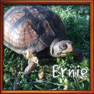 ernie - turtle at the sanctuary via NC dog rescue