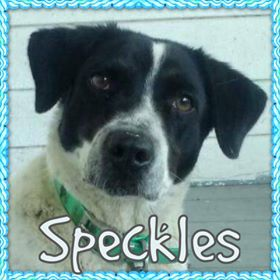 speckles - Red Barn, spayed and up to date on vetting
